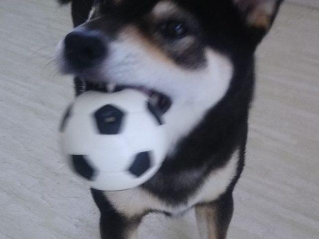 サッカーする黒柴犬ぽんすけ