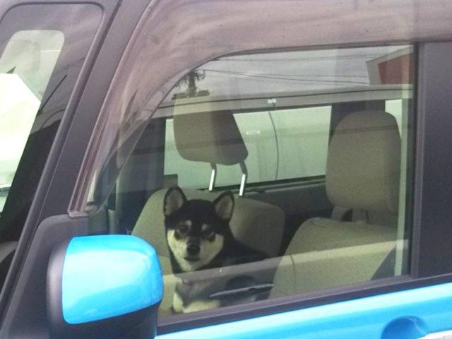 車で大人しく待つ黒柴犬ぽんすけ