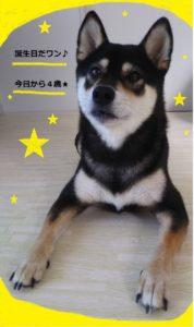 黒柴犬ぽんすけ4歳の誕生日
