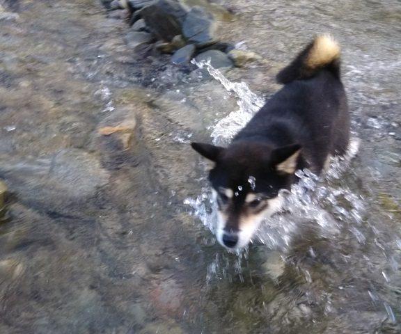 川遊びする黒柴犬ぽんすけ