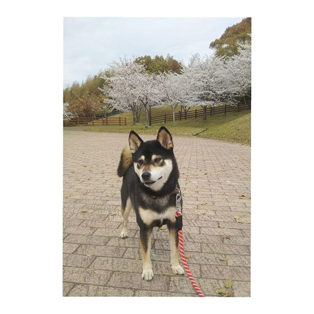 久留米市の浦山公園。サクラ咲いてました