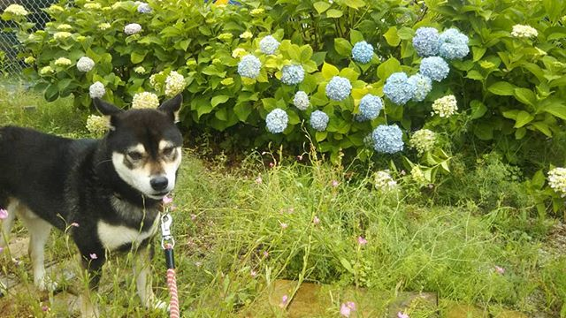 紫陽花が咲きました雑草も紫陽花と共に成長したようですf(^_^;