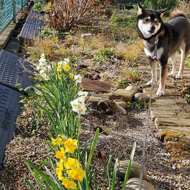 水仙が咲きました